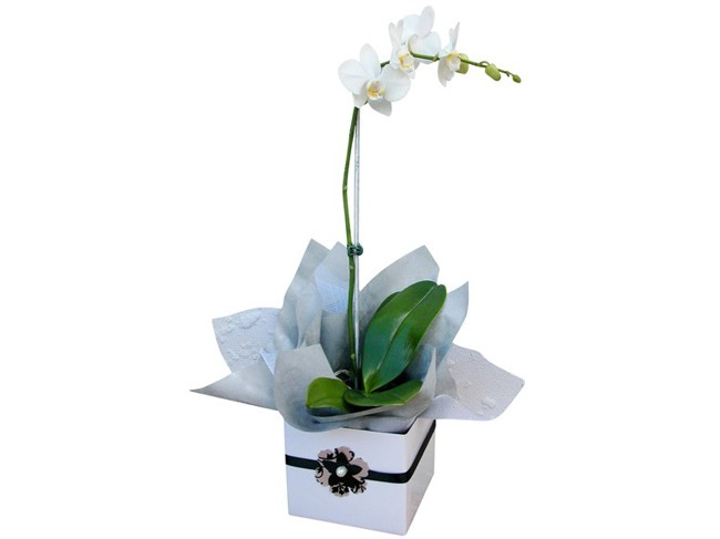 Phalaenopsis Orchid Boxed
